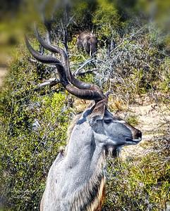 Male Kudu.