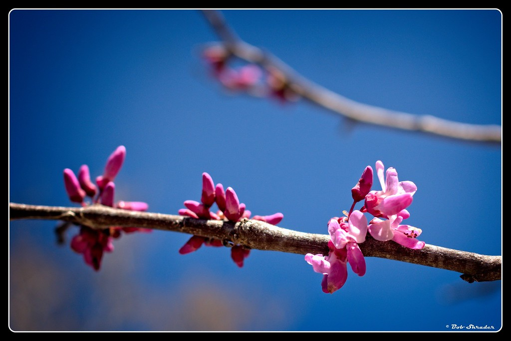 Redbud in Bloom