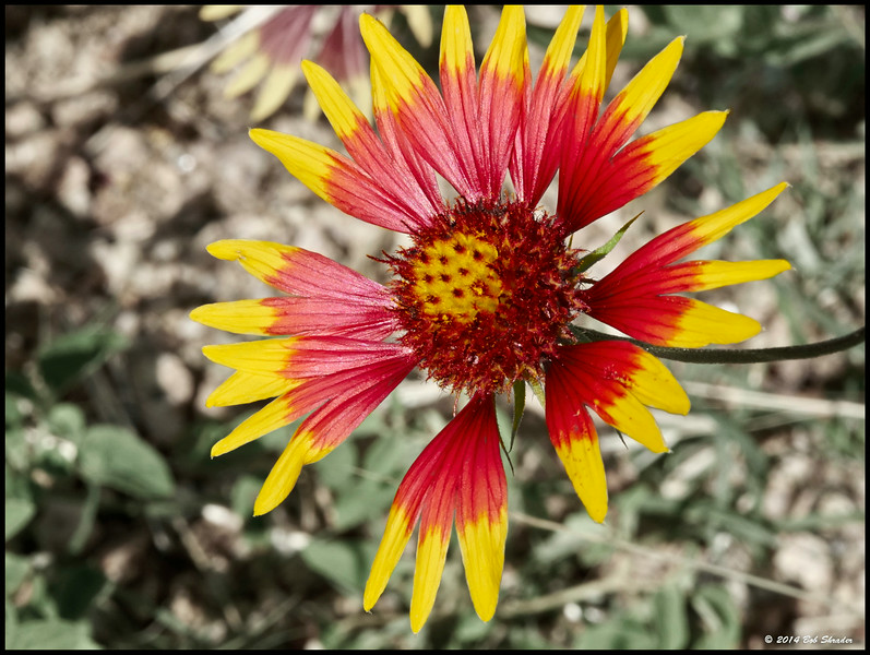 Indian Blanket Blossom