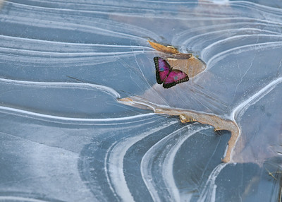 Butterfly on Ice  4329