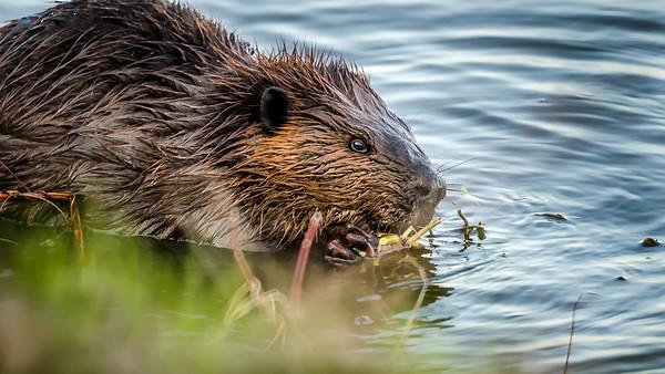 Beaver - Castor