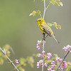 Prairie Warbler with redbud, Crawfordsville, IN