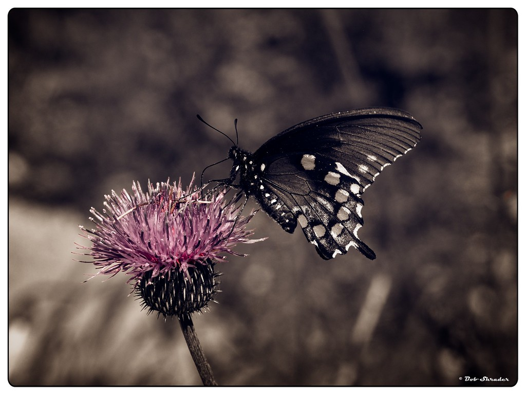 Butterfly on Texas Thistle