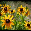 Blackeyed Susan Wildflowers