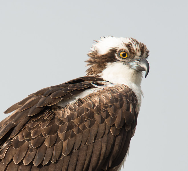 Osprey, Ding Darling National Wildlife Refuge, Florida