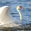Mute Swan, Winona Lake, IN