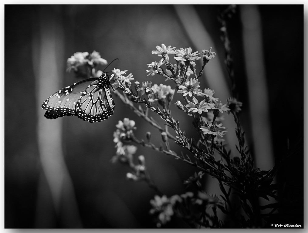 Butterfly in B&W