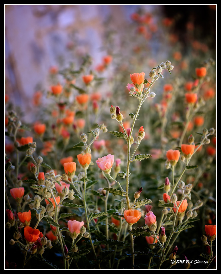 A Bunch of Gray Globemallow