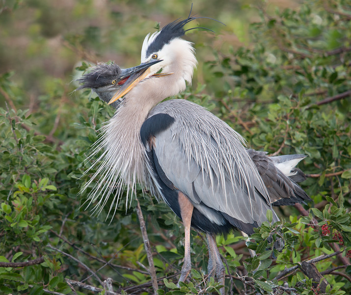 Great Blue Heron adult feeding juvenile, Venice, Florida