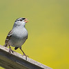White-crowned Sparrow, Ottawa NWR, Ohio