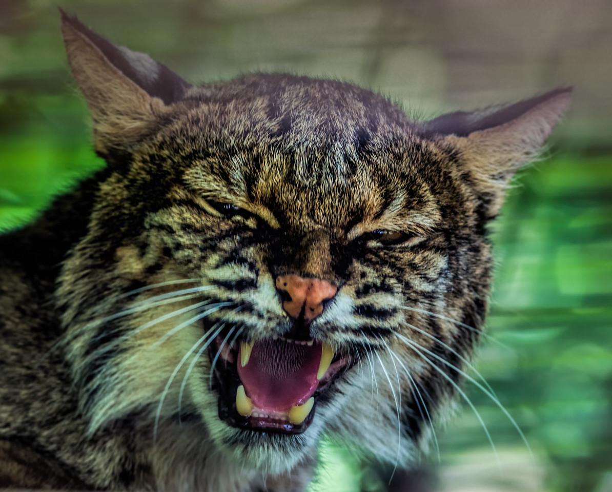 Bobcat at the Conservators Center NC