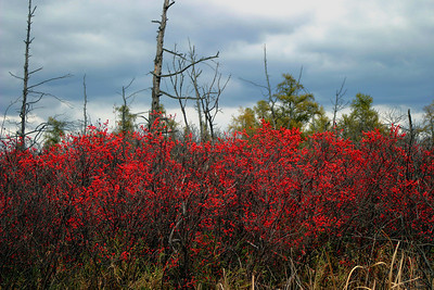 Winterberry Zone at Volo Bog Natural Area