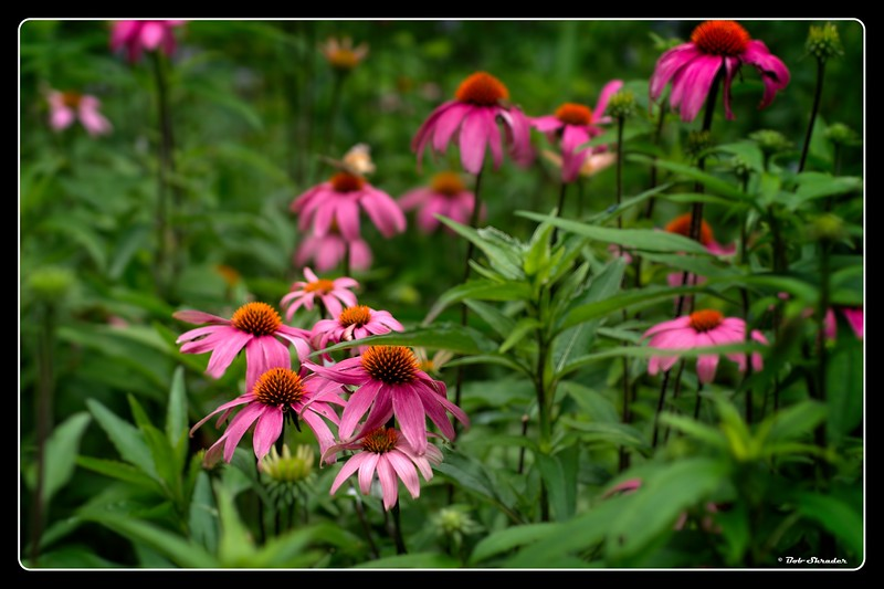 A World of Coneflowers