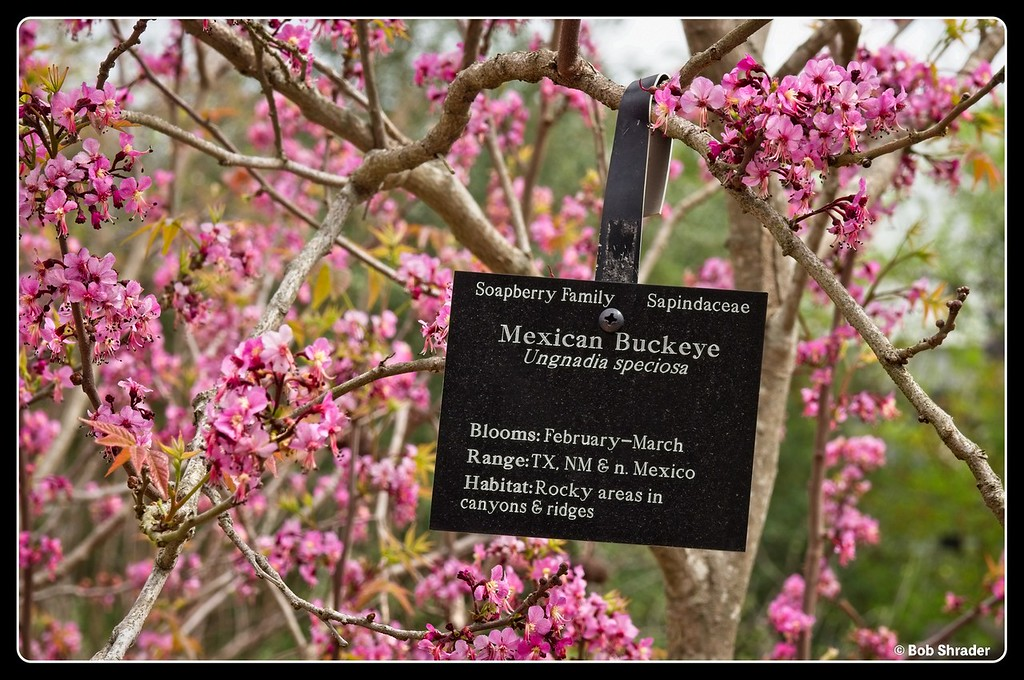 Mexican Buckeye Sign