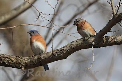 Pair of Eastern Bluebirds