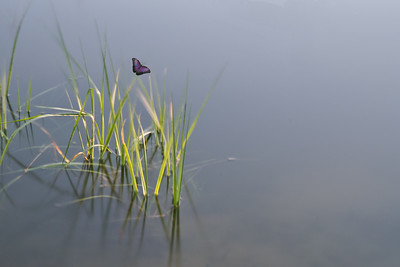 Grass in water with Butterfly 4962