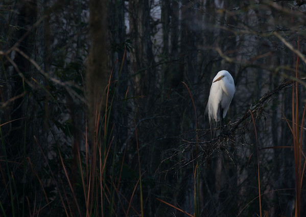 Roosted Great Egret