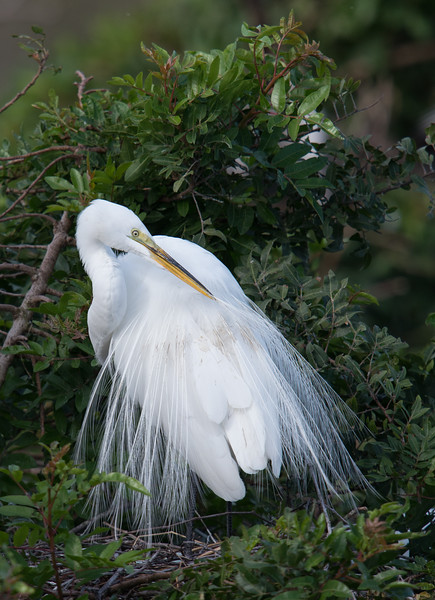 Great Egret, Venice, FL