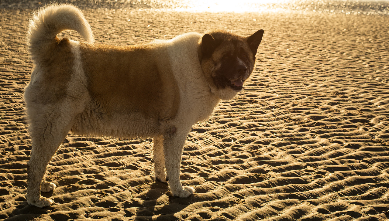 Odie at the beach.