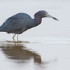 Little Blue Heron, Florida
