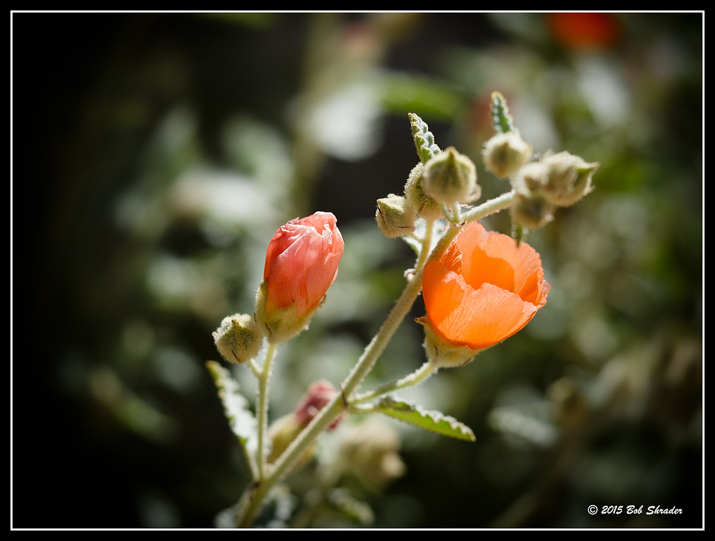 Gray Globemallow