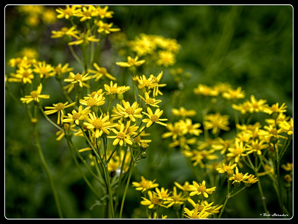 Golden Groundsel