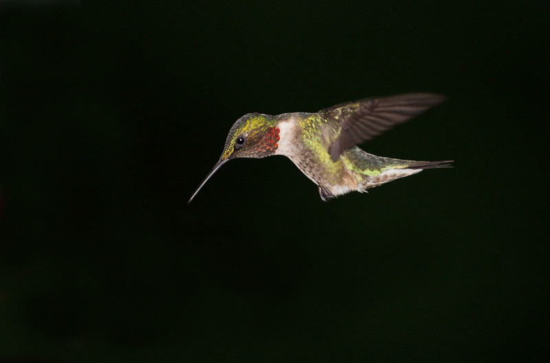 Male Ruby-throated Hummingbird, Indiana