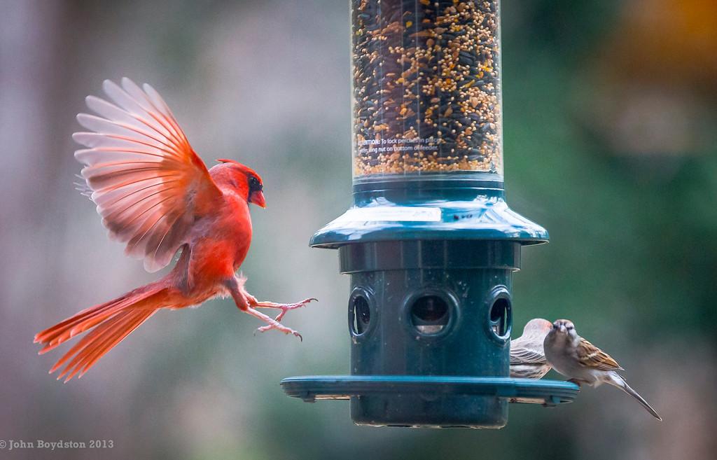 back yard bird photo.  Cardinal