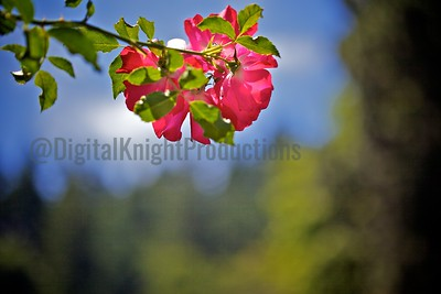 Rose_LG 275