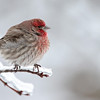 Male House Finch, Rockford, MI