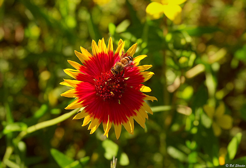 Indian Blanket and a Bee