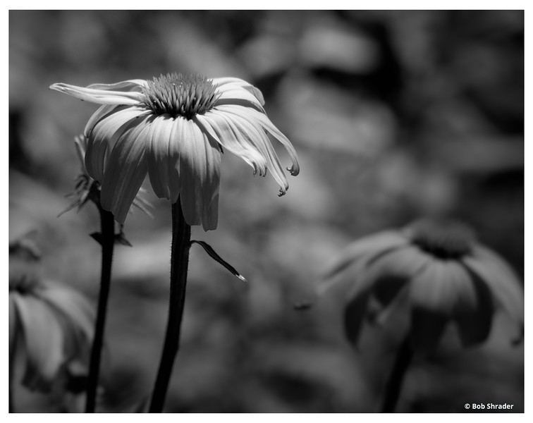 Eastern Purple Coneflower in Black and White