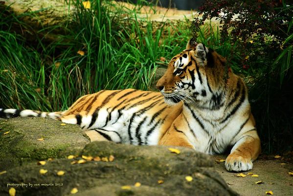 Jason Van Mourik - Tiger