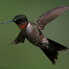 Ruby-throated Hummingbird, Indiana