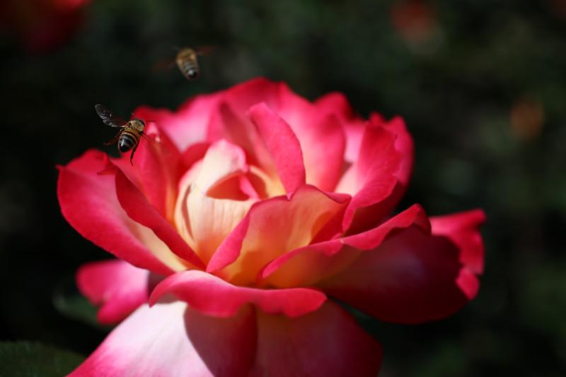 Incoming Bee.jpg
