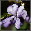 Texas Mountain Laurel Blossom