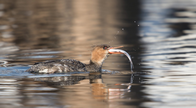 Female Red-breasted Merganser with Fish, Indiana