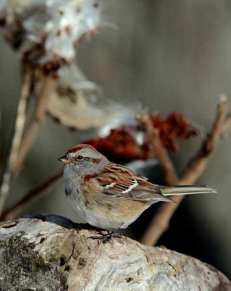 American Tree Sparrow, IN