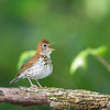 Wood Thrush, Big Walnut Nature Preserve, Indiana