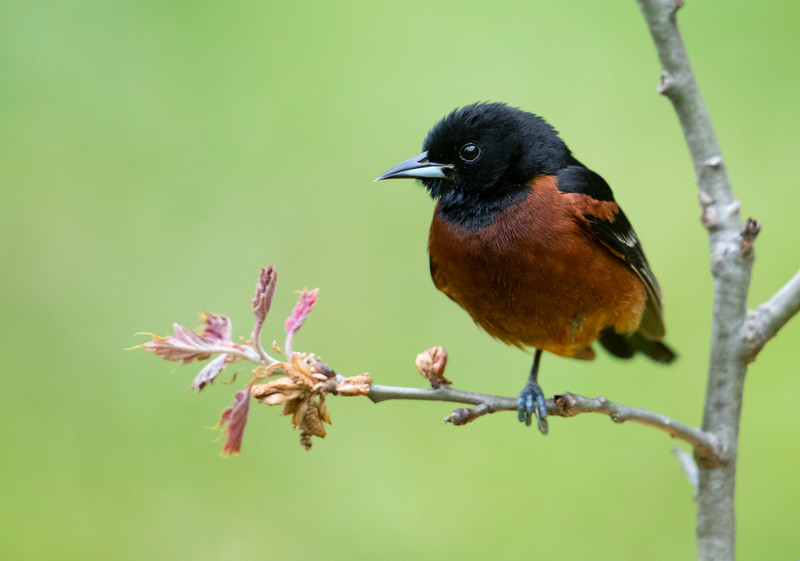 Male Orchard Oriole with red oak leaves