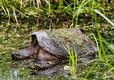A Content Snapping Turtle