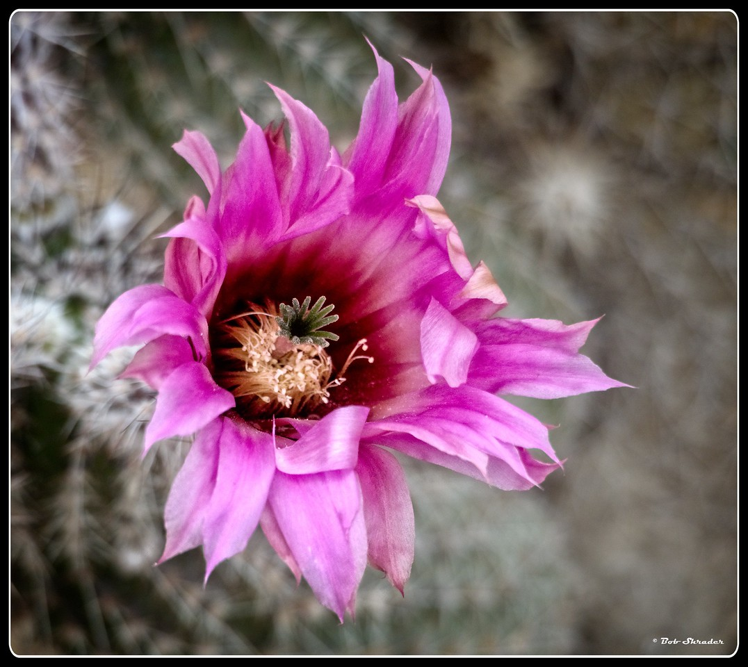 Early Cactus Blossom