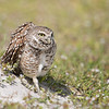 Burrowing Owl, Coral Gables, Florida