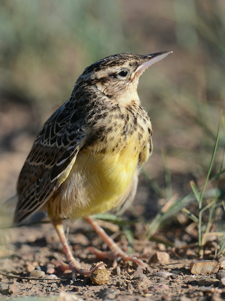 Western Meadowlark, juvenile, South Dakota