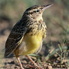 Juvenile Western Meadowlark, South Dakota