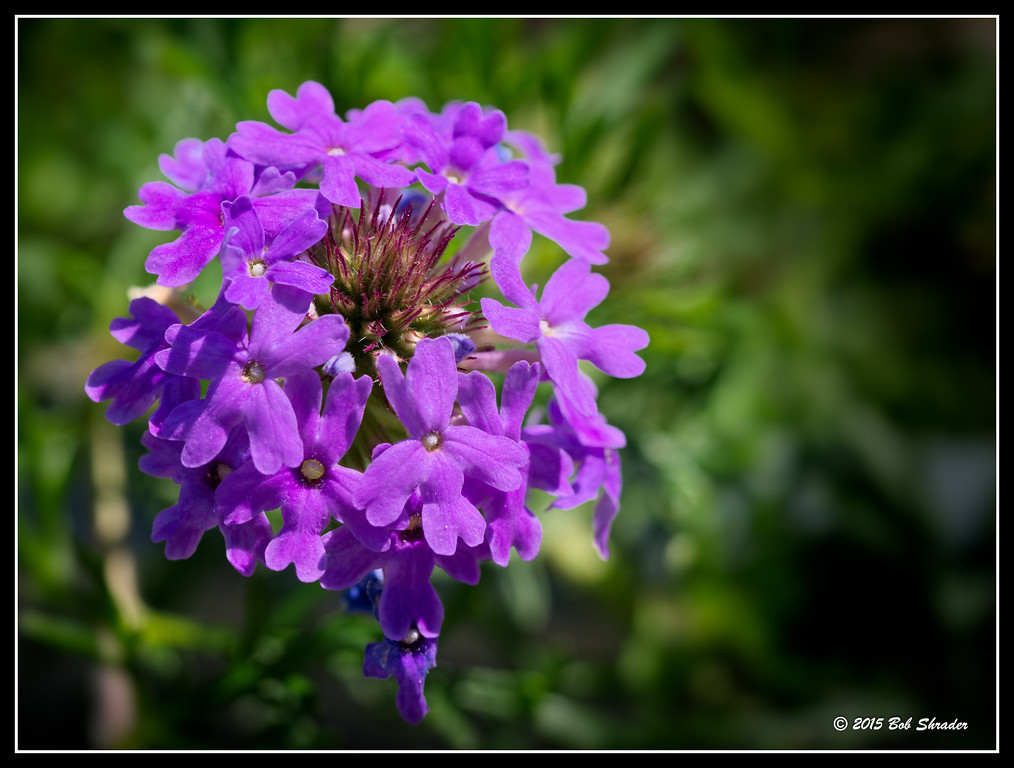 Prairie Verbena in Bloom
