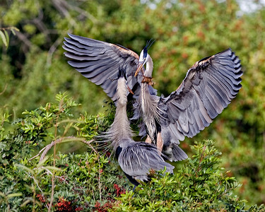 Great blue heron in mating display