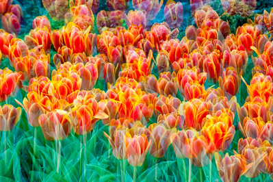 Multiple image of tulip bed