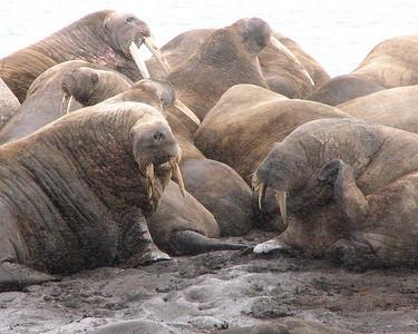 Walrus cluster