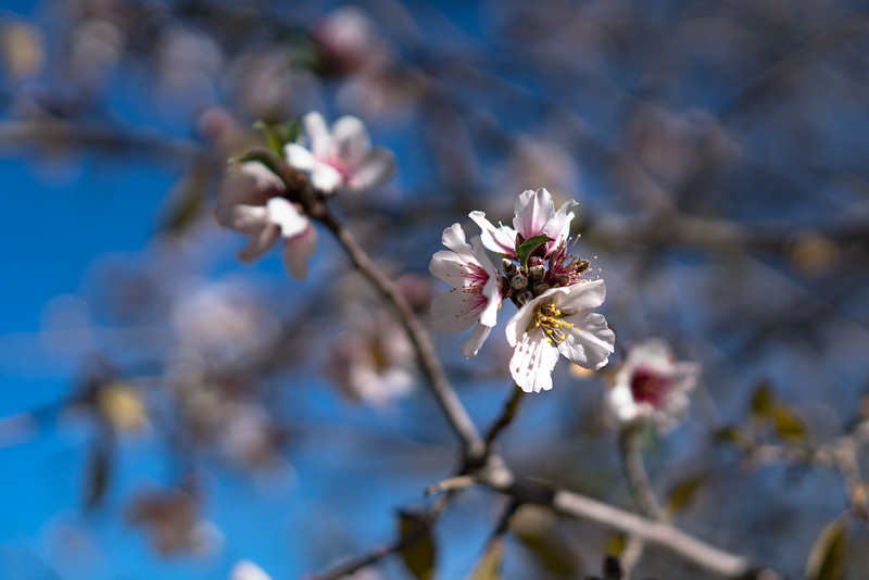 20170121 Almond Tree Blooms